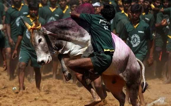 What is Jallikattu: Interesting facts about the bull taming sport