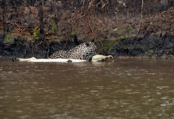 hungry jaguar took on a caiman in a 20 minute battle`
