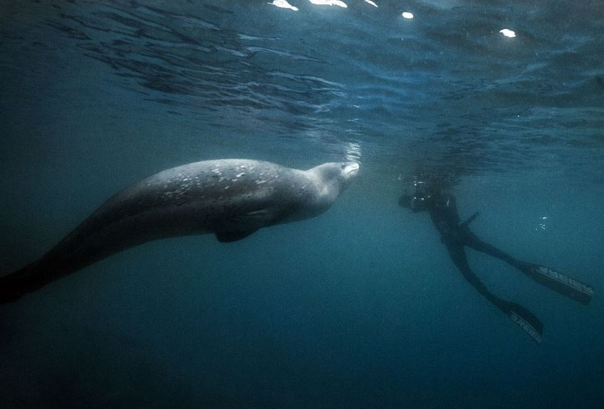 Mischievous Leopard Seal Photobombed French Divers in Antarctica