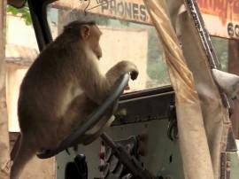 ...जब बंदर बन गया बस ड्राइवर!
