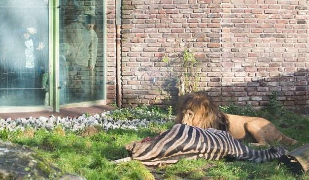 Shocked visitors see lions eat a ZEBRA in German zoo after the animal is put down due to 'extreme old age'