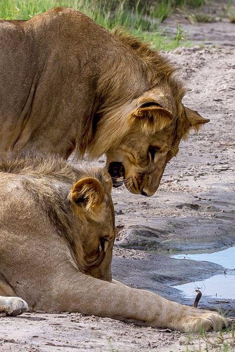lions run away from hissing baby cobra in Botswana
