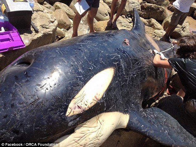 Beached killer whale's stomach is cut open to find something horrifying inside