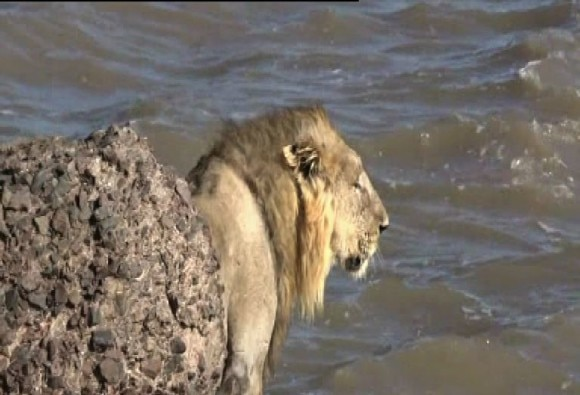 lion jumps into the sea