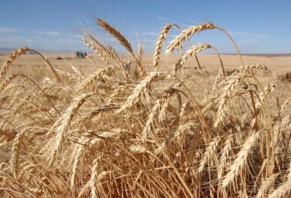 Wheat output may drop for second year straight due to warm winter