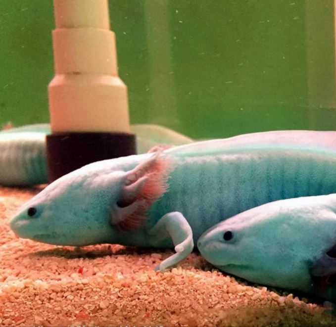 Rare colorful axolotl, which is also known as Mexican walking fish