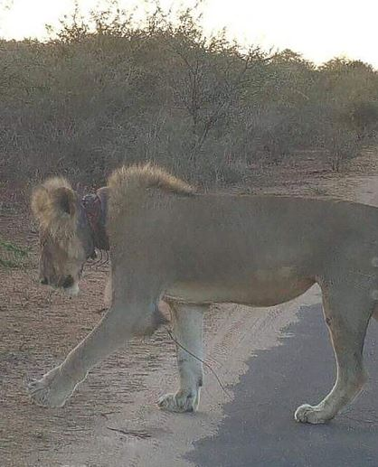 Tourists were left horrified after they discovered a dying lion with a snare around its neck