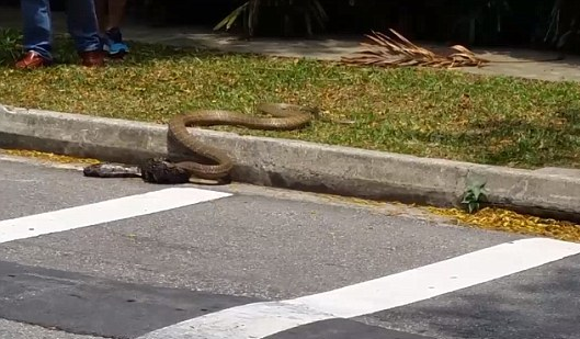 Python and a cobra go head to head in frightening street battle in Singapore