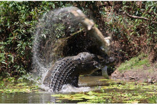 Australian wildlife officers hunt crocodile that bit off woman's hand