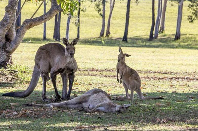 Mother kangaroo reaches for her baby one last time before dies
