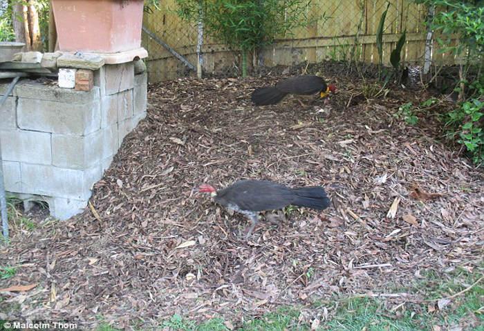 1.6 metre-long goanna enters in a house in australia