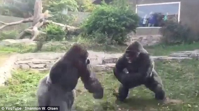 guerrillas fight each other for supremacy in a zoo