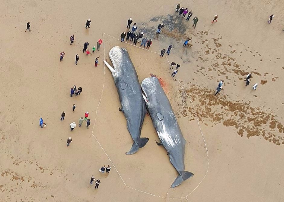 Four sperm whales washed up dead on British beaches