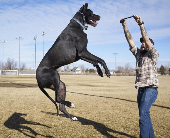 'Rocko' the 167 pound Great Dane who stands 7 feet tall on his hind legs