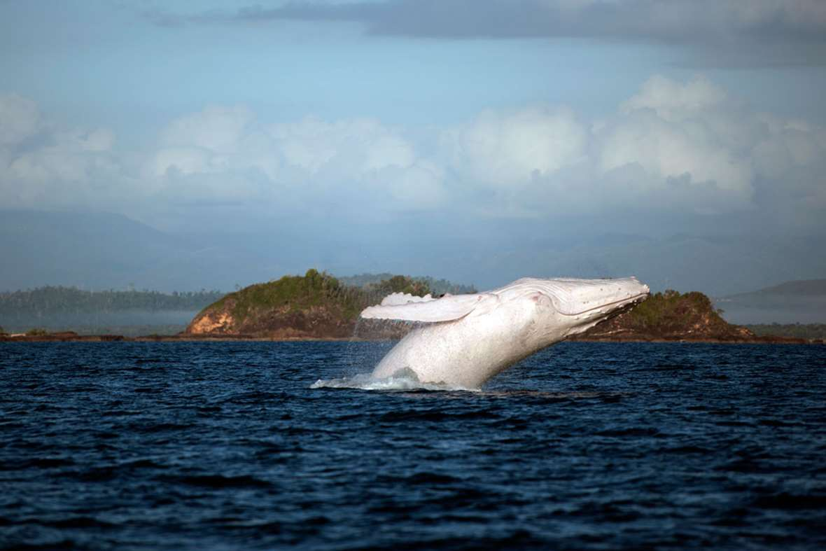 """MIGALOO"" THE WHITE HUMPBACK MAY HAVE FATHERED TWO ALBINO CALVES"