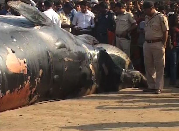 30 foot whale dies on the shores of mumbai marine