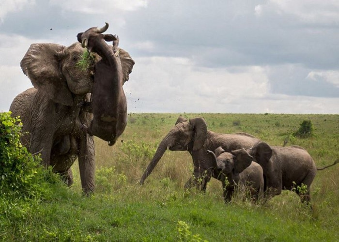 Angry Elephant tosses Buffalo to Death