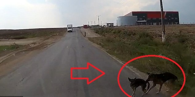 Dog saves his pal's life by dragging him out of the road