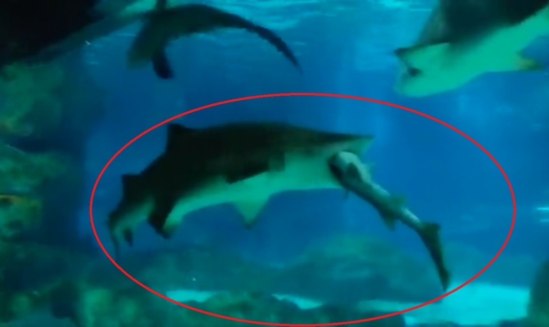 Incredible moment a shark is EATEN by its bigger rival at South Korean aquarium