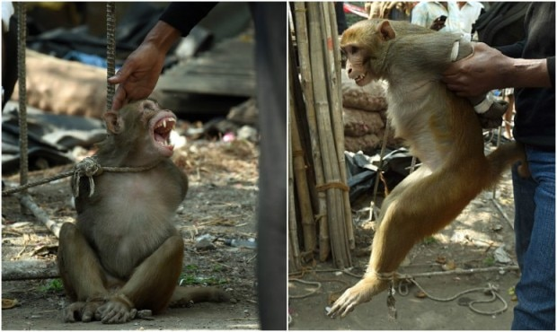 Thieving monkey bound and caged in India's Mumbai