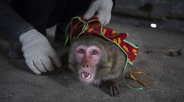 Brutal farms where cowering macaques are taught to perform for tourists