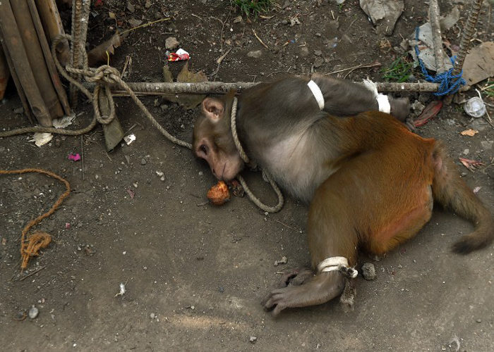 mumbaikars treat a monkey worse than thives