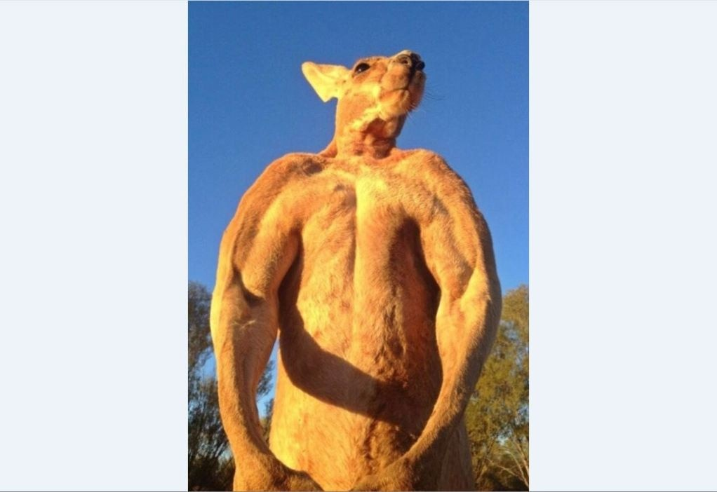 Roger the muscle-bound kangaroo is back