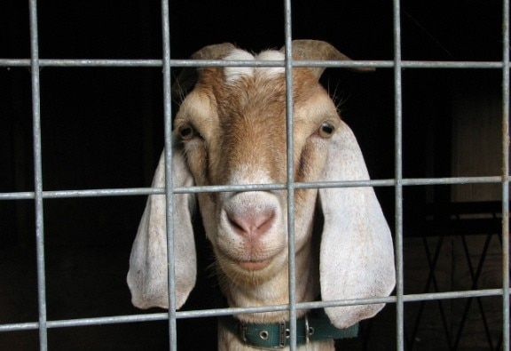 magistrate's lawn destroyed by goat