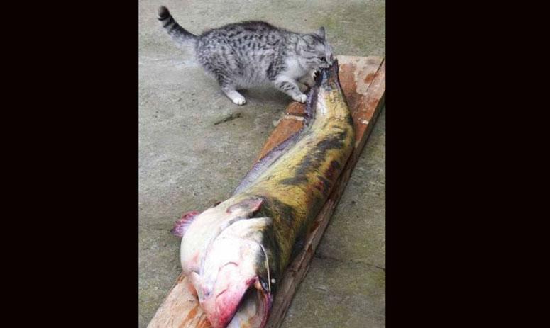 cats eating fish