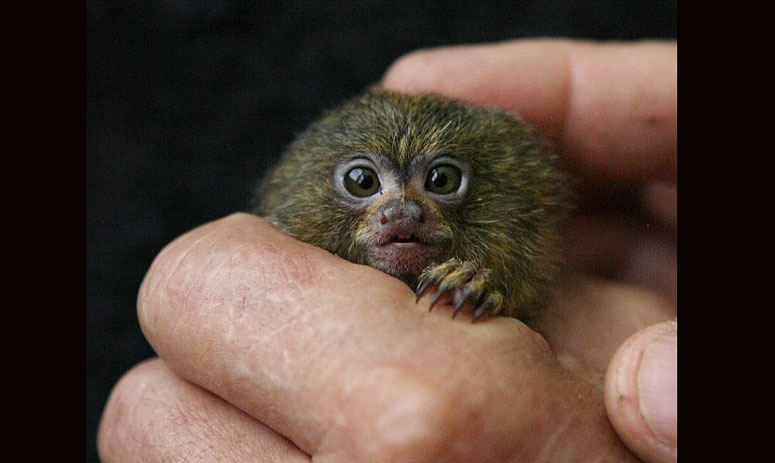Chinese nouveau riche flaunt thumb-size pet monkeys as the tiny animals become popular gifts