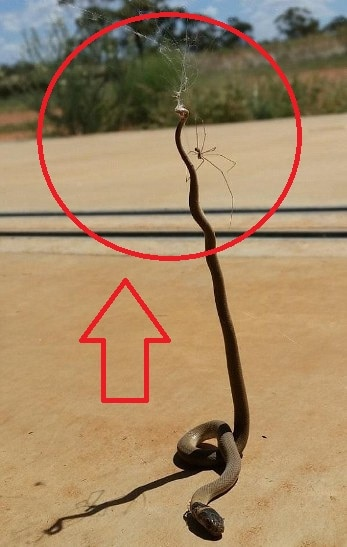 Spider takes on a deadly brown snake caught in its web