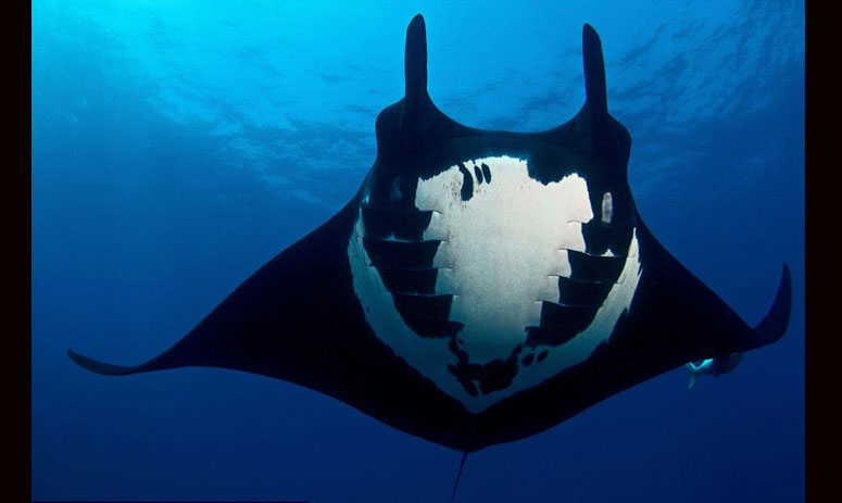 Incredible images of a rare manta ray with an eerie skull pattern on its underside captured!