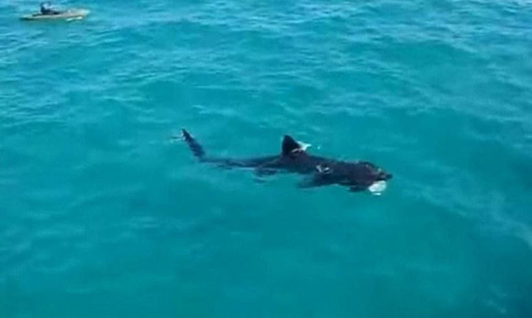 A gigantic shark is approaching, but the kayaker is totally unaware off the coast of Florida
