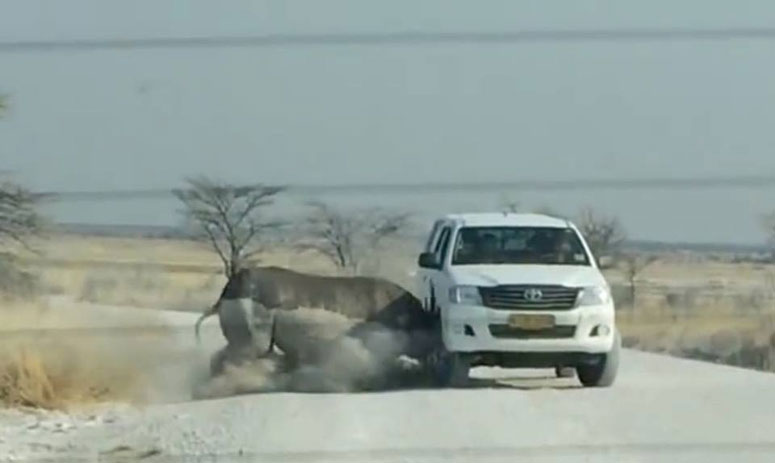 A Road-raging Rhino Runs At the Toyota Truck Like A Charging Bull