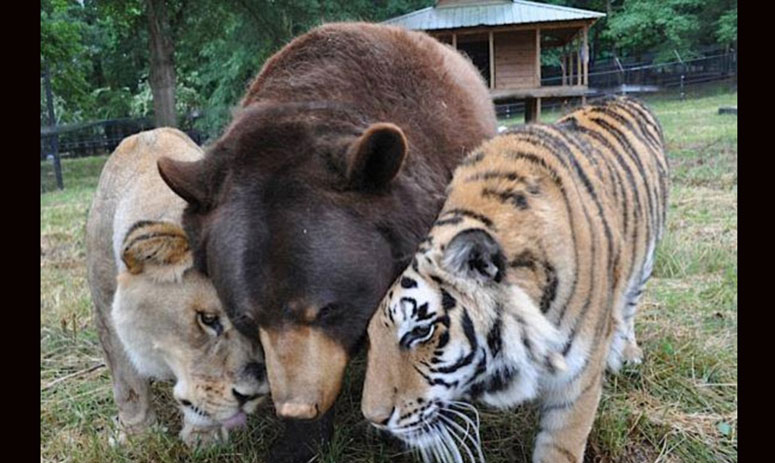 Noah's Ark Animal Shelter in US has a bear, a lion and a tiger as mates