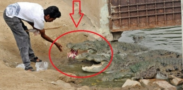 Pakistani pilgrims flock to crocodile shrine as Taliban threat recedes
