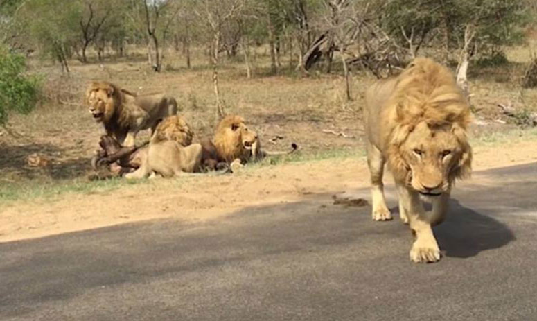 Stunned Tourists Witness Lions Catching Buffalo Meters Away