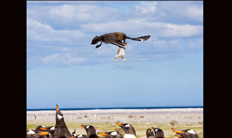Skua swoops down and snatches a baby penguin from the rest of the flock