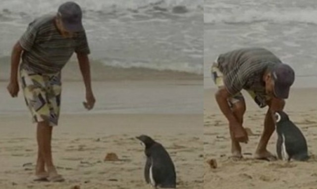 This penguin swims 8000km every year to visit man who saved his life
