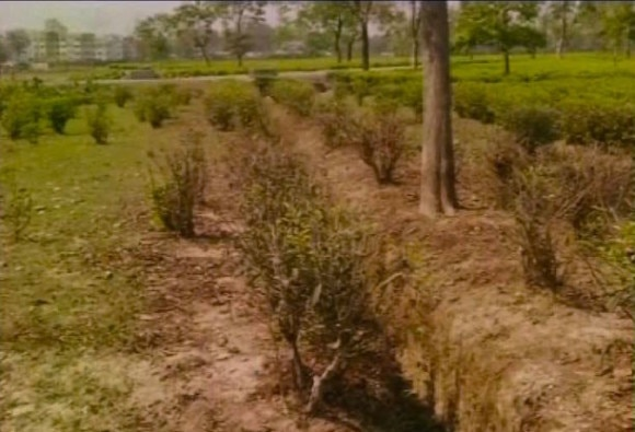 NORTH BENGAL TEA INDUSTRY FACES DROUGHT LIKE SITUATION