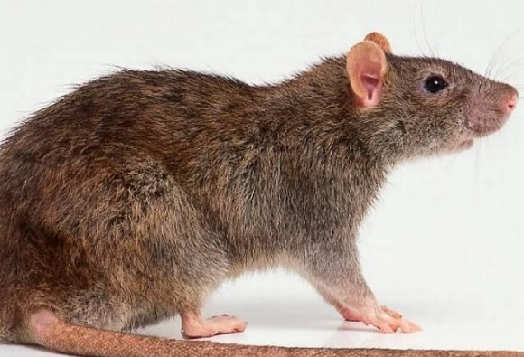 Peshawar: Administration announces cash reward of rs 25 for killing rats