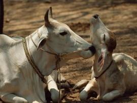 पशु तस्करी रोकने के लिए गायों को मिलेगी 'खास पहचान'