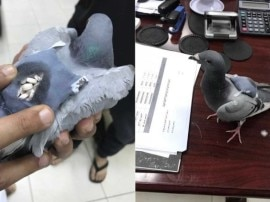 कभी चिठ्ठी पहुंचाने वाला कबूतर अब ड्रग की स्मगलिंग करते हुए पकड़ा गया