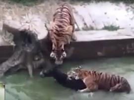 दर्दनाक: जू के अधिकारियों ने जिंदा गधे को बाघों के सामने फेंका, VIDEO वायरल