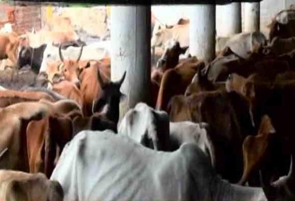 एबीपी न्यूज़ की खबर का असर, गायों की मौत के मामले में बीजेपी नेता गिरफ्तार!