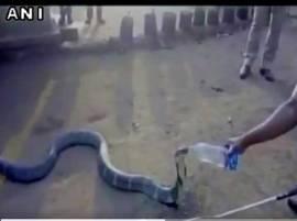 খরা কবলিত কর্ণাটকের কাইগায়ে বোতল থেকে জল খাওয়ানো হল শঙ্খচূড়কে দেখুন ভিডিওতে
