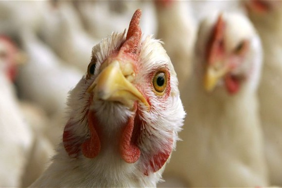 BIRD FLU on Gujrat bordar