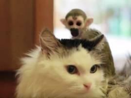 जेव्हा माकडाचं पिल्लू मांजराच्या पाठीवर खेळतं!