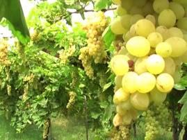 द्राक्ष उत्पादकांना व्यापाऱ्यांकडून केवळ 8 रुपये किलोचा भाव