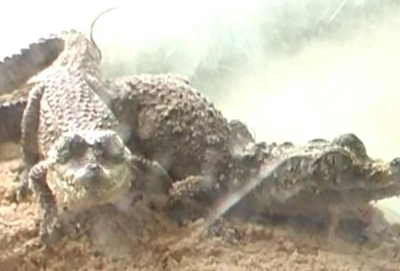 four crocodile disappeared from the Pimpri Chinchwad zoo